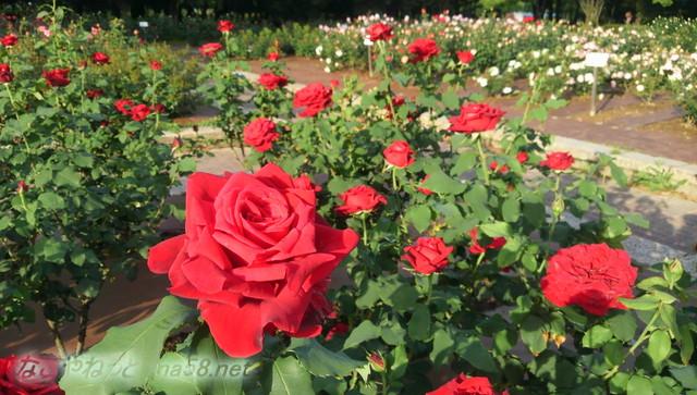 名古屋市西区庄内緑地公園のバラ園5月赤いバラアップ