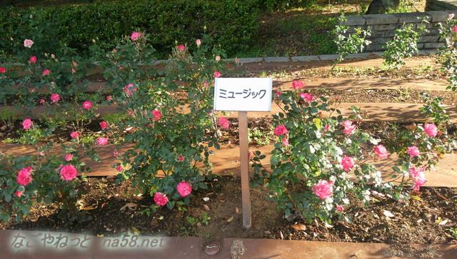名古屋市西区庄内緑地公園のバラ園5月ミュージック