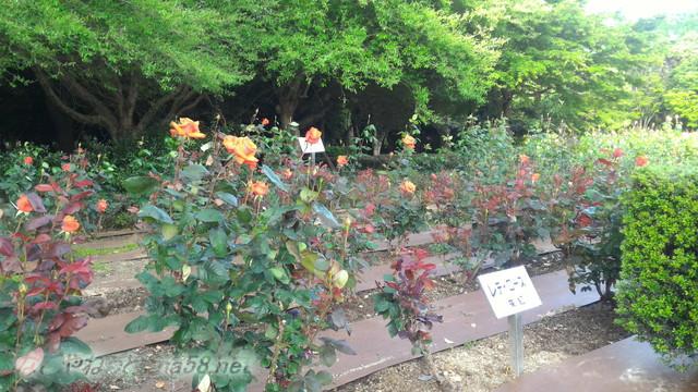 名古屋市西区庄内緑地公園のバラ園5月レディローズ