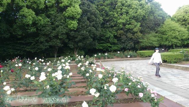 名古屋市西区庄内緑地公園のバラ園5月白いバラに囲まれて