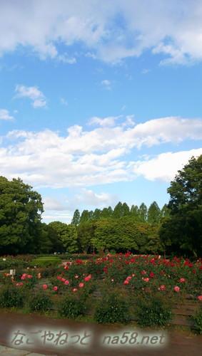 名古屋市西区庄内緑地公園のバラ園5月青い空と
