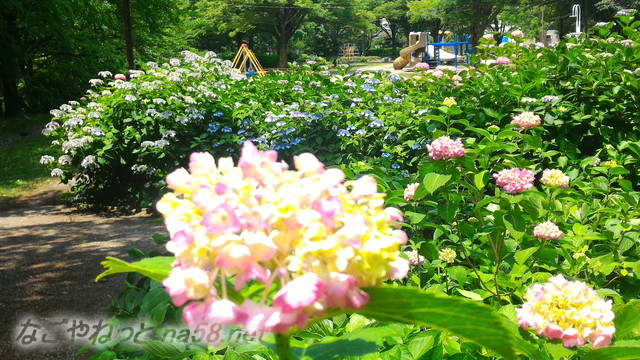 茶屋ヶ坂公園(名古屋市千種区)のあじさい2018年平成30年6月2日