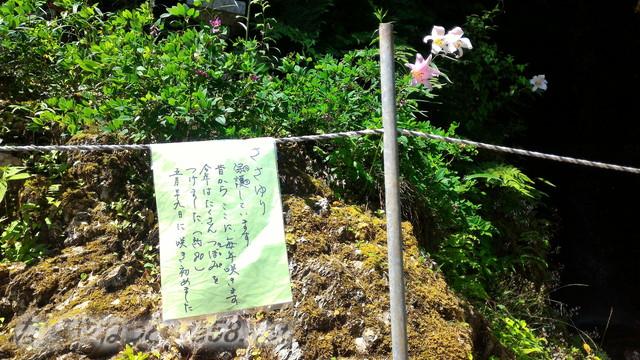 甘南美寺(岐阜県山県市長滝)ささゆりがたくさん咲きました
