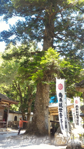 甘南美寺(岐阜県山県市長滝)桜の大木