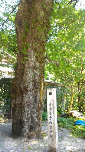 甘南美寺(岐阜県山県市長滝)の巨木桜