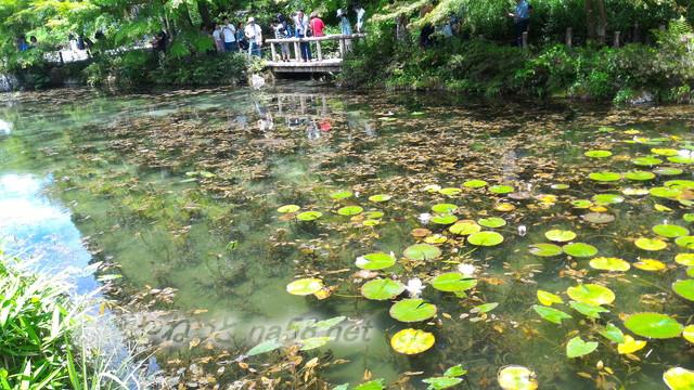 根道神社にある「モネの池」絵画よりきれい(岐阜県関市板取)