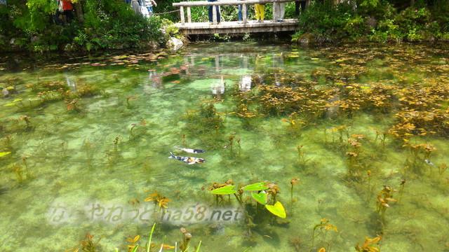 根道神社にある「モネの池」絵画よりきれい(岐阜県関市板取)錦鯉とスイレンが絵になるところは橋のそば