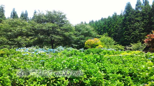 モネの池の隣、根道神社から続くあじさい園「ユネスコの森」岐阜県関市板取