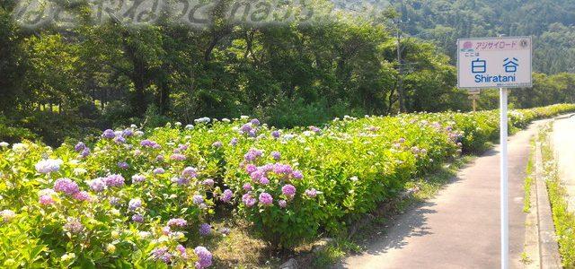 板取あじさいロード24キロを快適ドライブ6月(岐阜県関市)