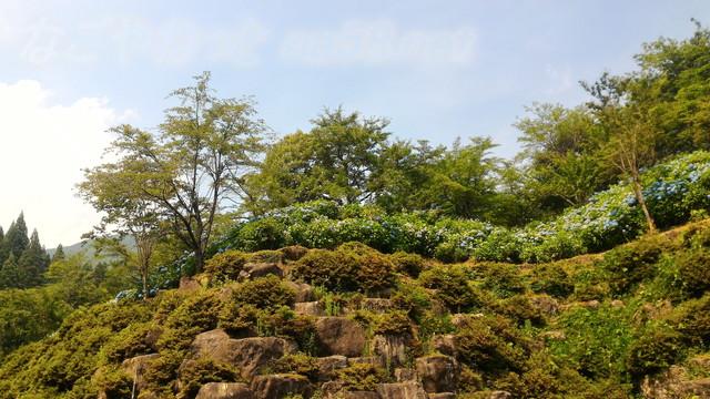 21世紀の森公園(岐阜県関市)駐車場までの道のあじさい