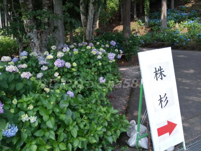 21世紀の森公園(岐阜県関市)株杉の案内版とあじさい