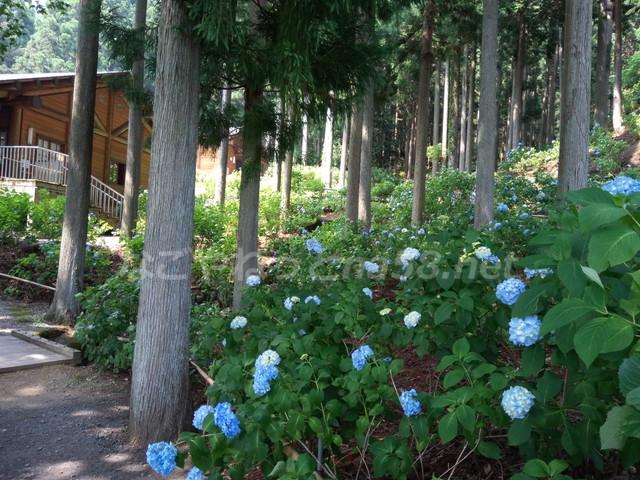 21世紀の森公園(岐阜県関市)学習展示館付近のあじさい