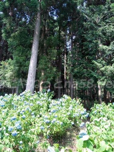21世紀の森公園(岐阜県関市)の珍しい大株杉付近のあじさい