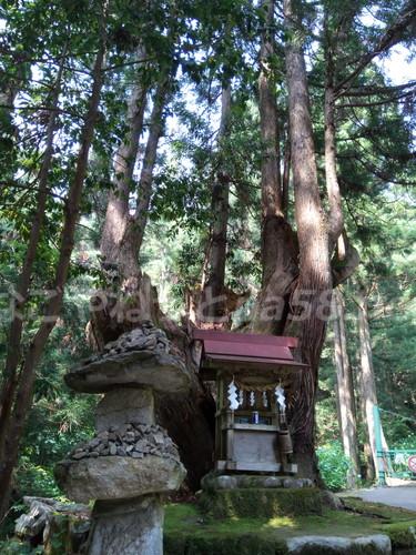 21世紀の森公園(岐阜県関市)の珍しい大株杉と社