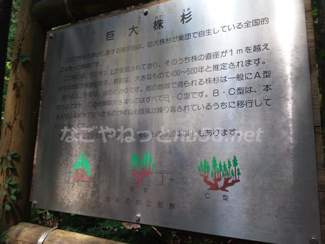 21世紀の森公園(岐阜県関市)の珍しい大株杉解説