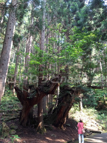 21世紀の森公園(岐阜県関市)の珍しい大株杉