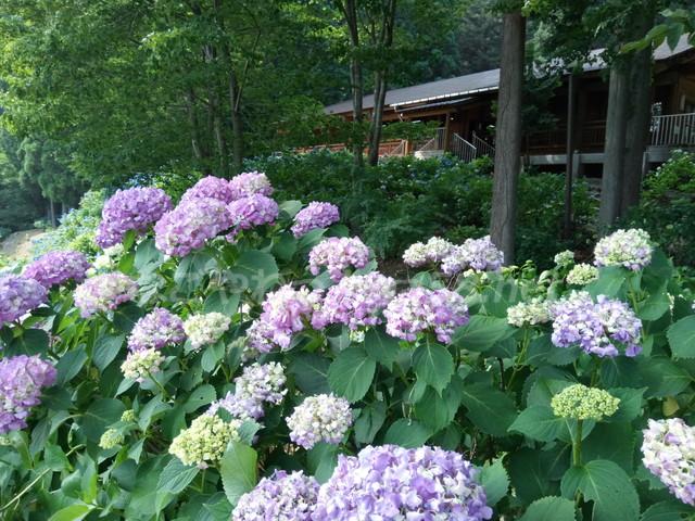 21世紀の森公園(岐阜県関市)学習展示館とあじさい