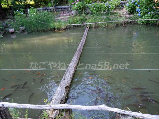 桂昌寺(岐阜県郡上市美並町)池、鯉亀かえる