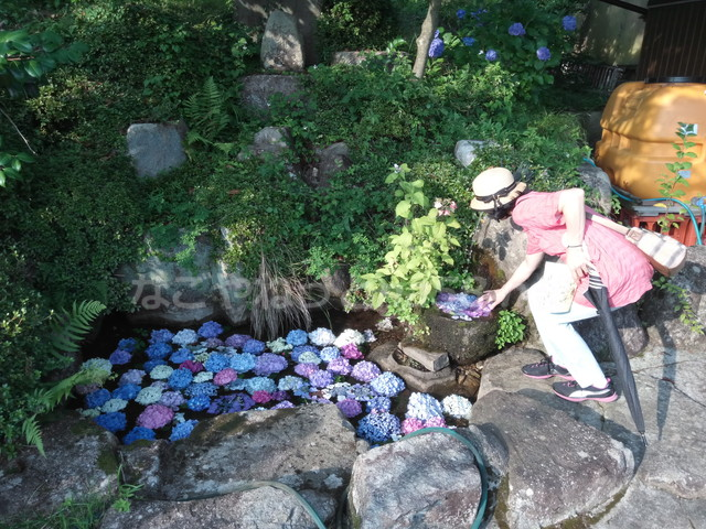 桂昌寺(岐阜県郡上市美並町)水に浮かべたあじさい