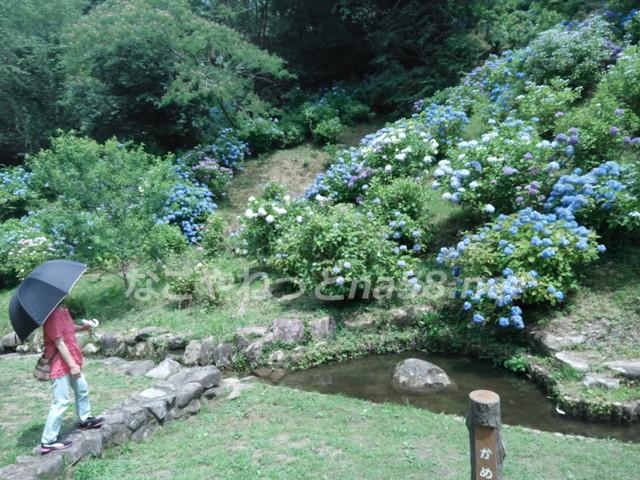 川に沿ってアジサイが咲き乱れています。