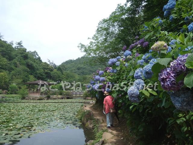 スイレンの池の周りは、小径がつながり、紫陽花のトンネルになっています。