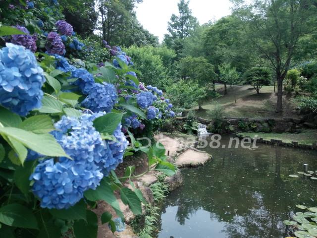 6月から7月初旬まで紫陽花を楽しめます。