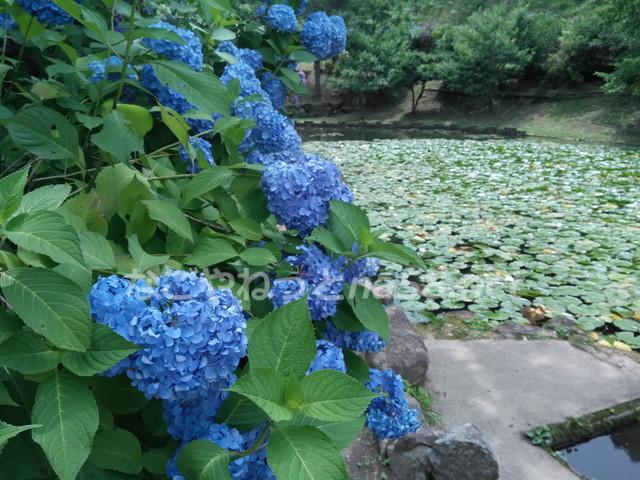 睡蓮との共演も美しく、斜面いっぱいに広がる紫陽花が非常に見応えがありました。