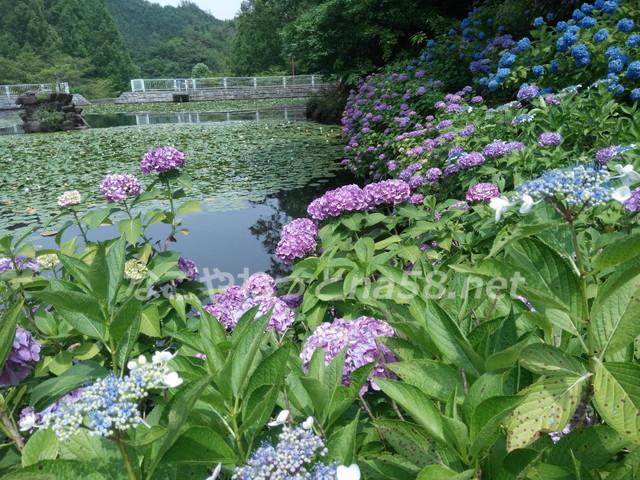 睡蓮との共演も美しく、斜面いっぱいに広がる紫陽花が見ごたえあり。