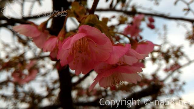 河津桜2月下旬の咲いた様子