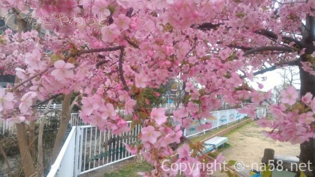 河津桜・満開に咲いている様子
