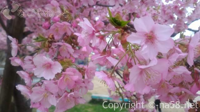 河津桜・ほぼ満開の様子