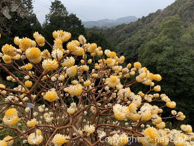 日龍峯寺(にちりゅうぶじ)の住職さんのお庭の西洋みつまたと景色