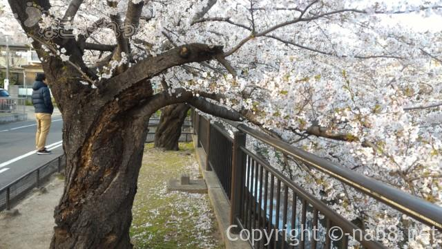 山崎川桜花見、巨大な老木も魅力