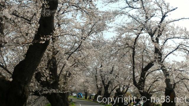 蛇池公園(名古屋市北区西区)満開の桜並木、お花見の人