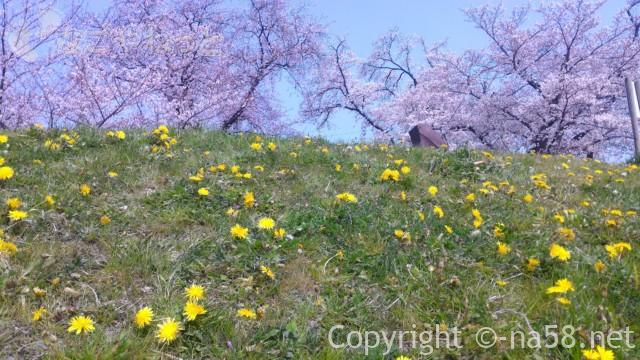 洗堰堤(名古屋市北区西区)の桜を堤の下から撮る
