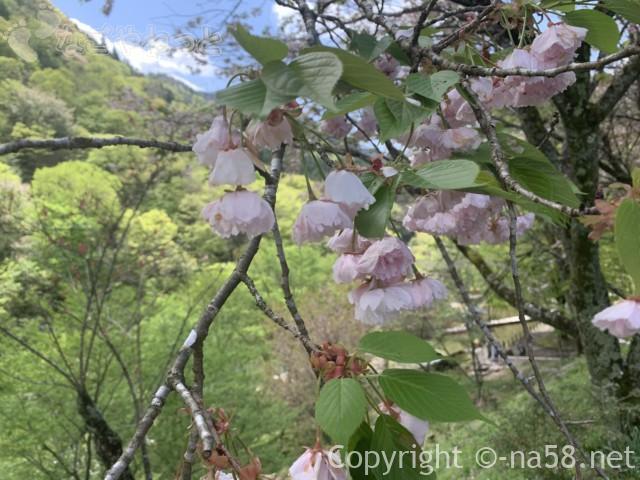 道の駅「明宝」(岐阜県郡上市)の八重桜