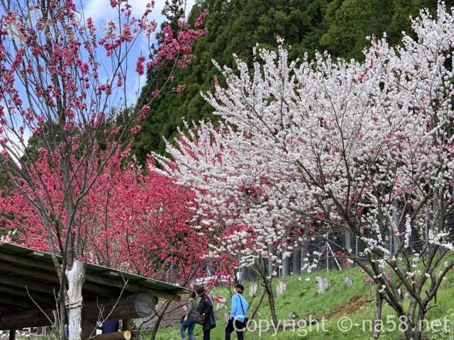 國田家の芝桜(岐阜県郡上市)、満開、白赤の花が芝桜を見下ろすように並ぶ
