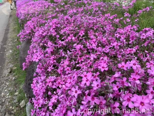 國田家の芝桜(岐阜県郡上市)、満開、アップ