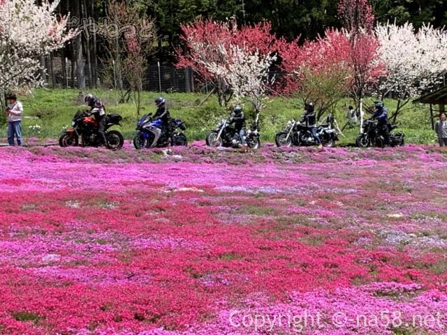 國田家の芝桜(岐阜県郡上市)、満開、ライダーの人達が横切る
