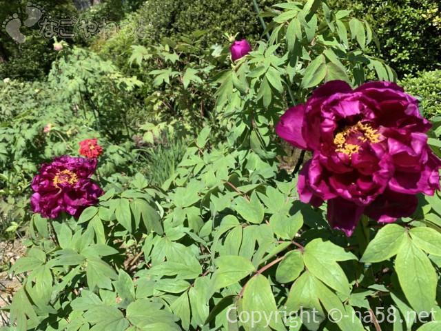 ぼたん園(桂昌寺) 見頃!(岐阜県郡上市)濃い赤紫のぼたん