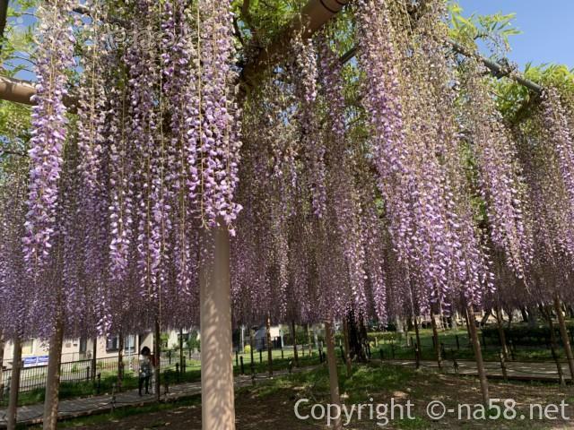 尾張津島藤まつり、美しく咲く藤棚の藤(愛知県津島市)
