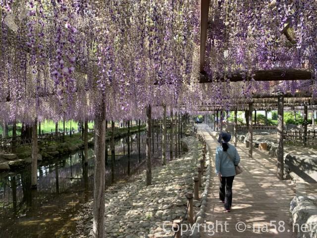 尾張津島藤まつり、美しく咲く藤棚の藤