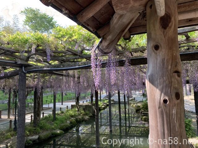 尾張津島藤まつり、美しく咲く藤棚の藤(愛知県津島市)東屋からの眺め