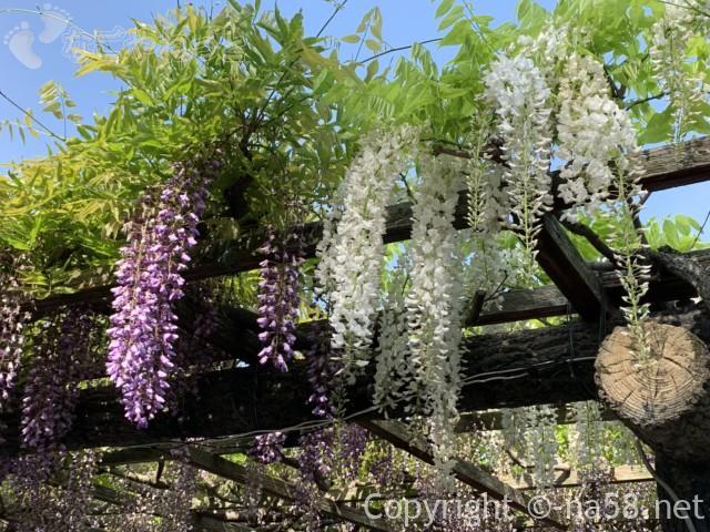 尾張津島藤まつり、美しく咲く藤棚の藤(愛知県津島市)白い藤も