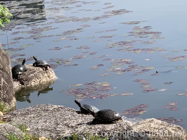 尾張津島藤まつり(愛知県津島市)天王川公園の中の島、甲羅干しのかめ