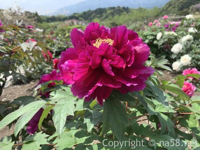 いなべぼたんまつり(三重県いなべ市)農業公園にて