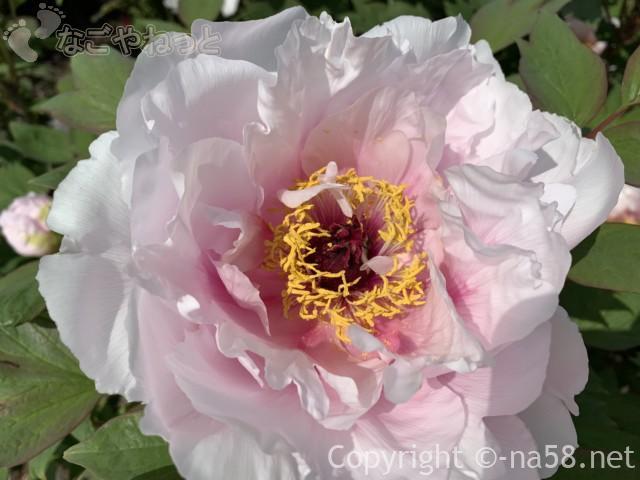 いなべぼたんまつり(三重県いなべ市)農業公園にて、淡いピンクが愛らしい