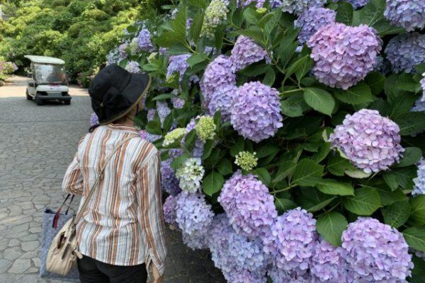 静岡県あじさい(紫陽花)の名所・ランキング!すべて見頃を紹介します!