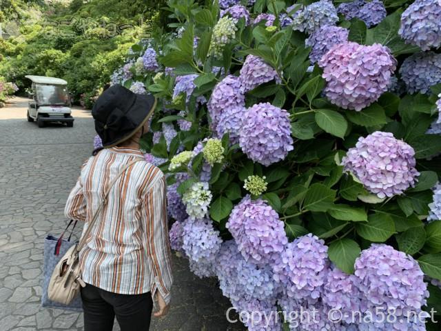 下田公園(静岡県下田市)あじさい散策路とあじさいと送迎車