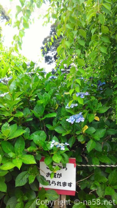 龍尾神社(静岡県掛川市)の花庭園内のあじさいと掛川城